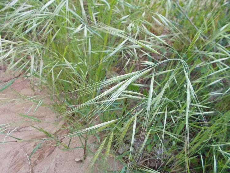 Grass Awn