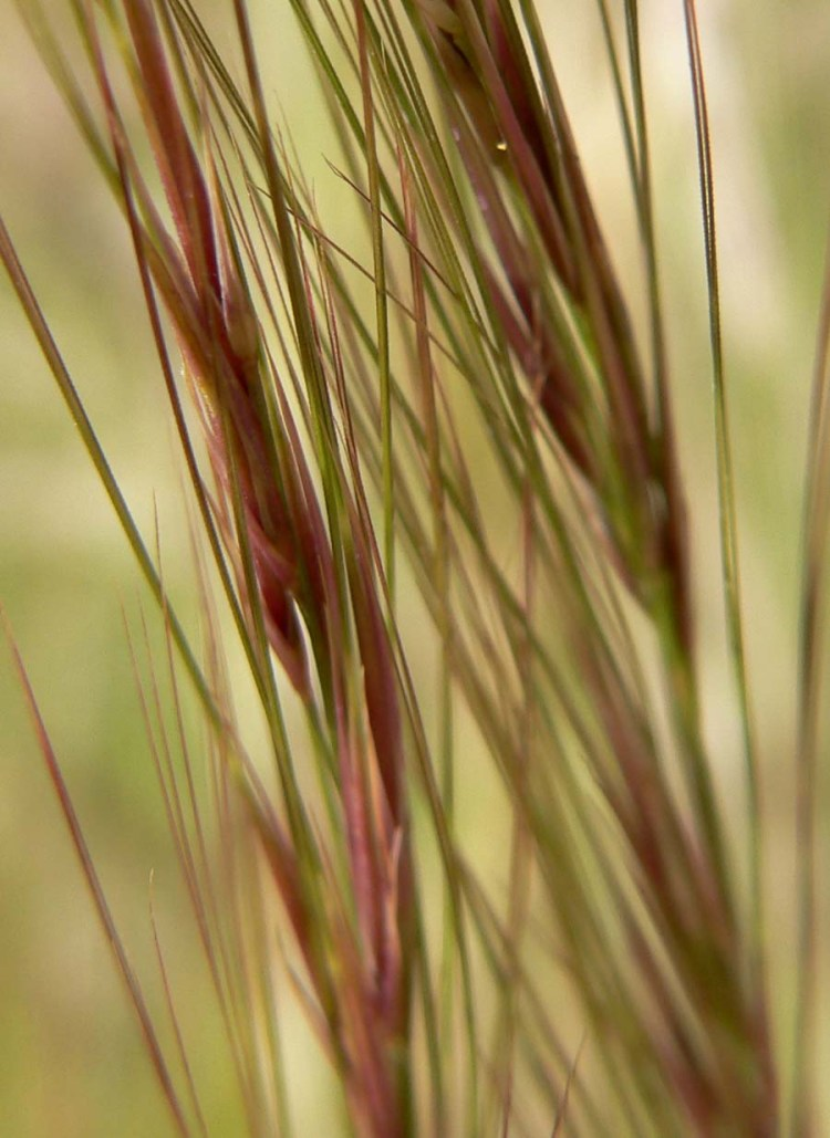 Aristida_purpurea_close