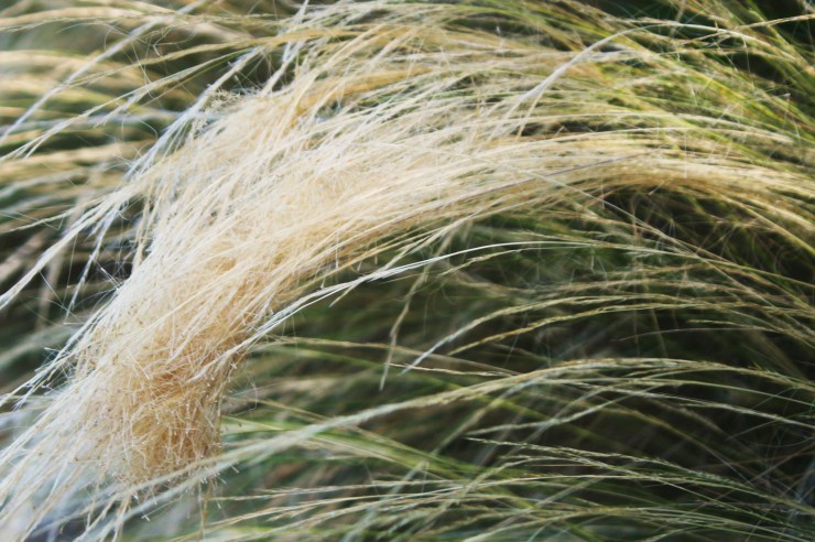 Mexican Needle Grass