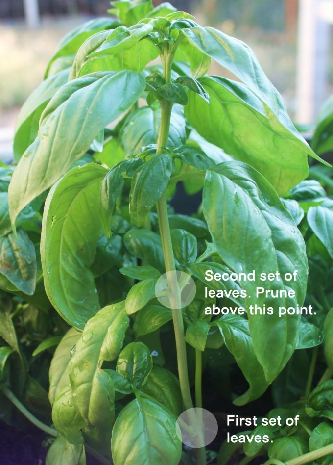 how to grow a bushy basil plant