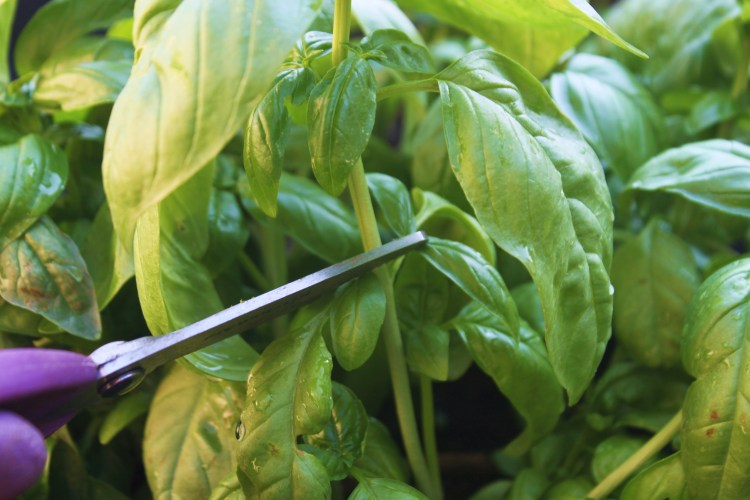 Prune and propagate basil