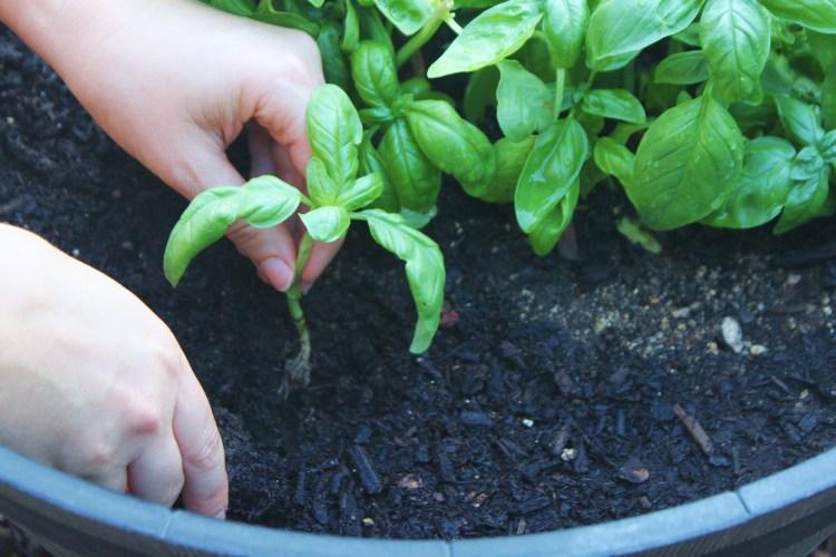 Plant basil