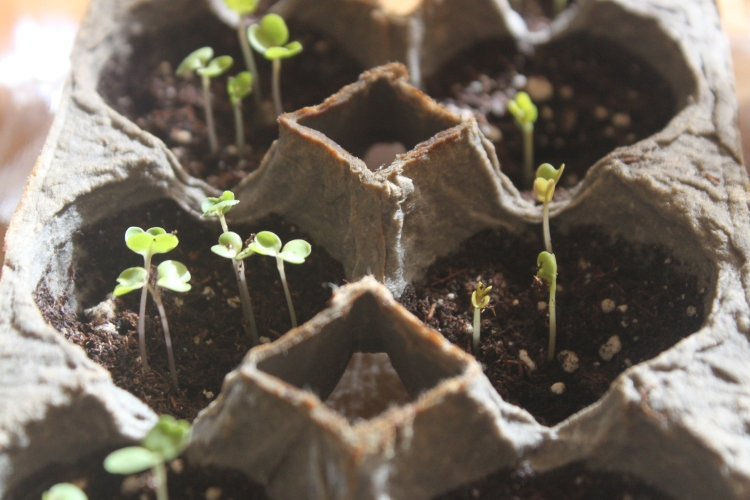 Seedlings in Egg Carton Tray