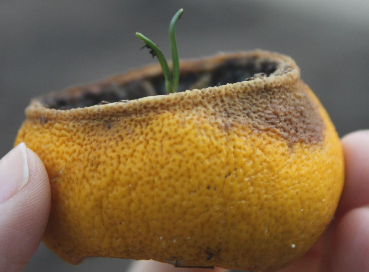 Citrus peel seed starting