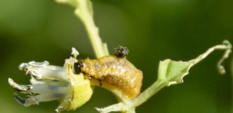 Potato Beetle Larva Eating Tomatillo
