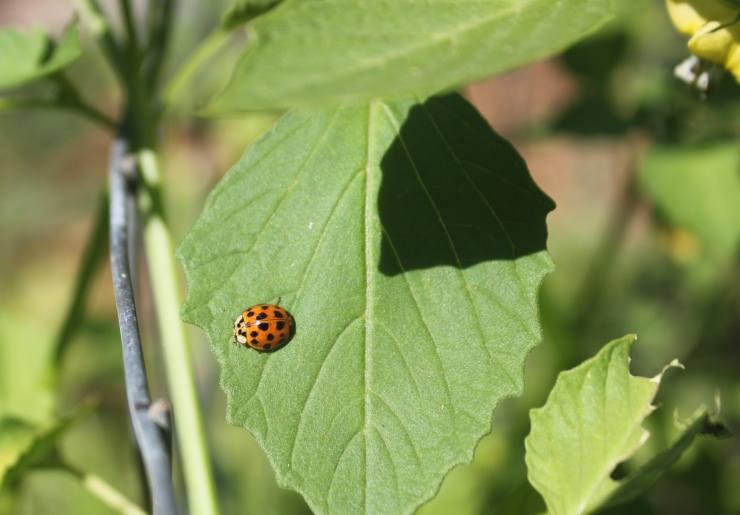 Lady Bug on Tomatillo Plant