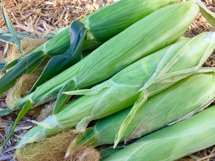 Tips to Grow Corn