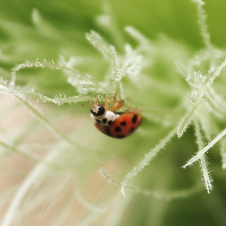 Ladybug on Cornsilk