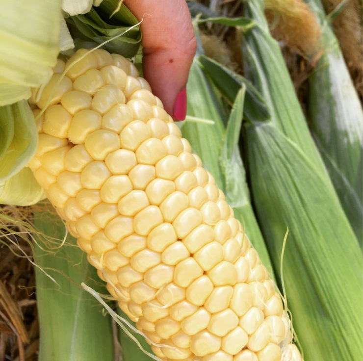 5 Top Tips for Growing Corn