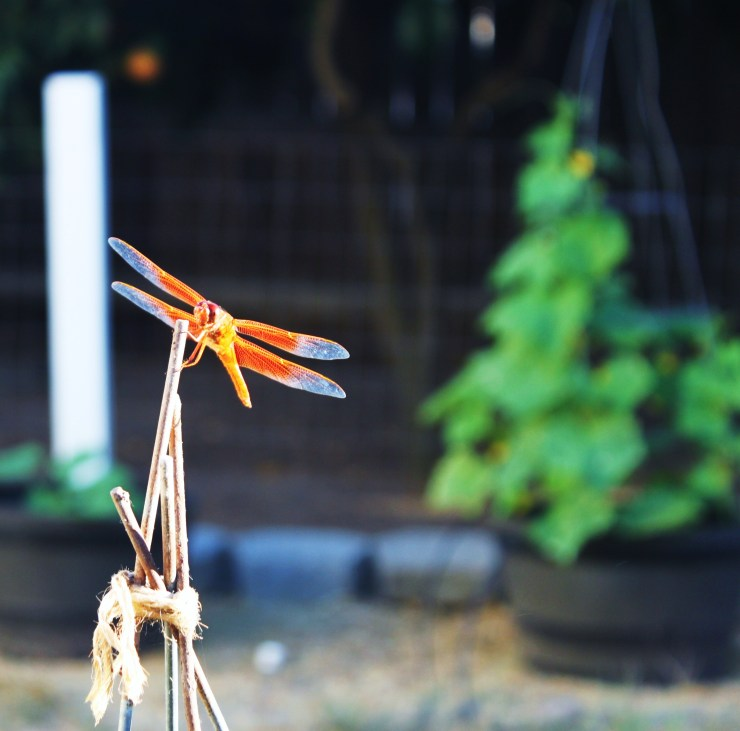 Dragonfly Perched on Tomato Cage