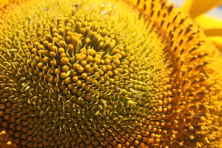 Pollen on Sunflower