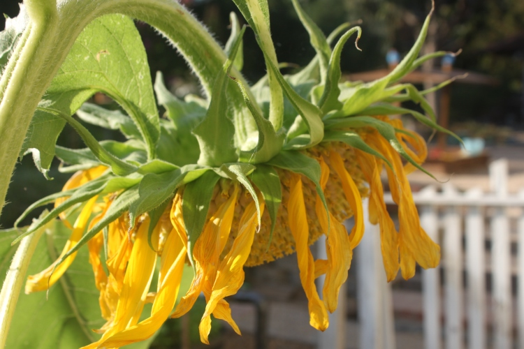 Mammoth Sunflower Head