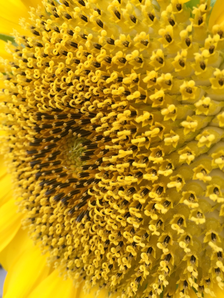 Sunflower Pollen