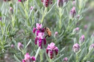 Bee pollinating spanish lavender