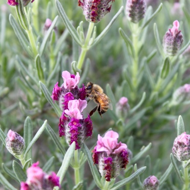 Bee pollinating spanish lavender