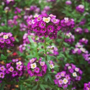 purple alyssum