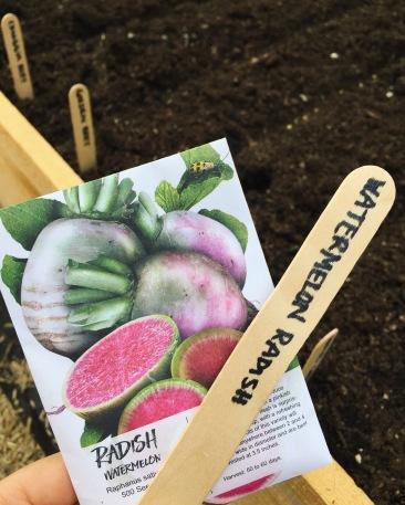 Growing watermelon radishes